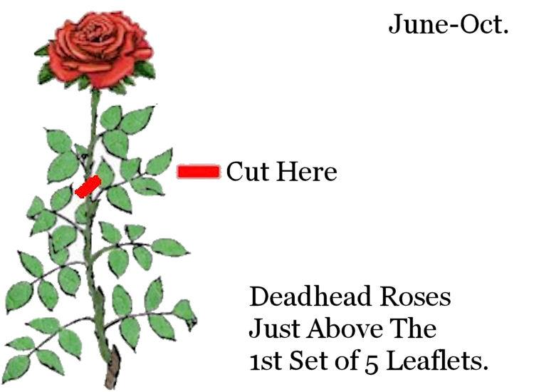 Rose Deadhead